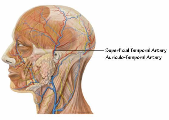 Anatomical illustration of two important arteries in the human skull