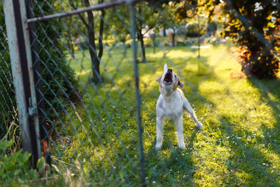 A dog barking behind a chain fence.