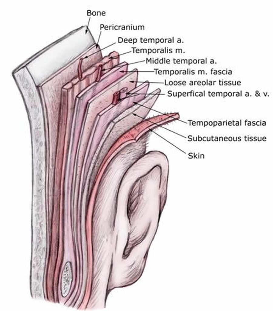Layered anatomical representation of the layers of skin beneath the ear