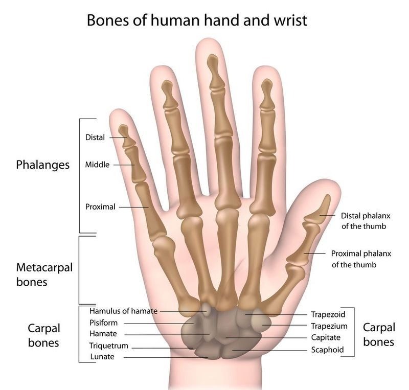 A diagram of the bones that comprise the hand