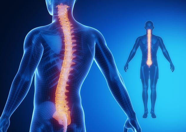 Human body with spinal cord highlighted.