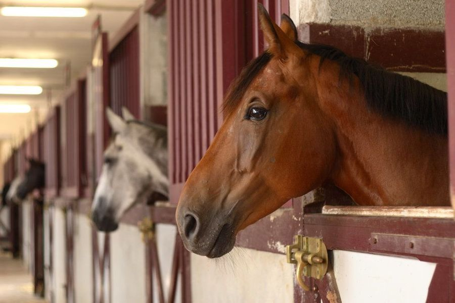 Row of horses looking out of stalls
